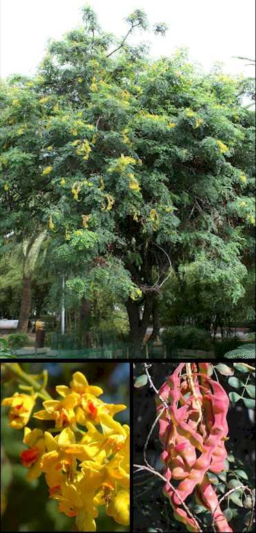 Caesalpinia spinosa - Caesalpinia gilliesii cultivo ...
