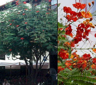 Caesalpinia pulcherrima - Caesalpinia gilliesii cultivo ...