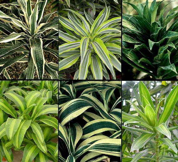 Las dracenas - Imagenes plantas de interior ...