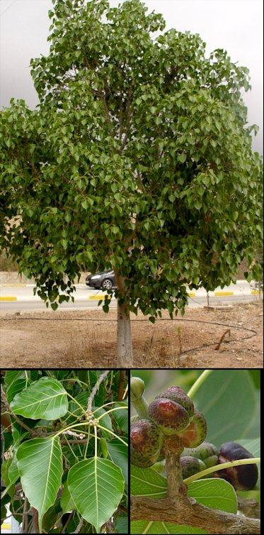 Ficus arbol - Arbol de pina ...