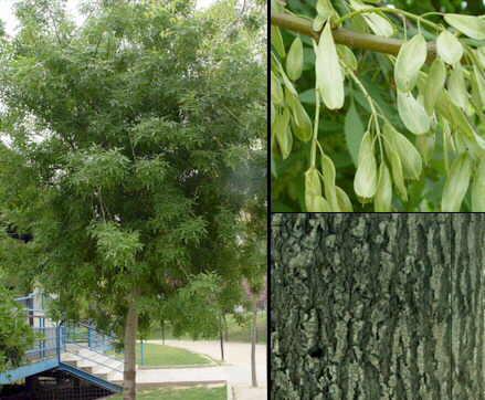 Ayuda que arbol plantar subdivx for Arbol comun