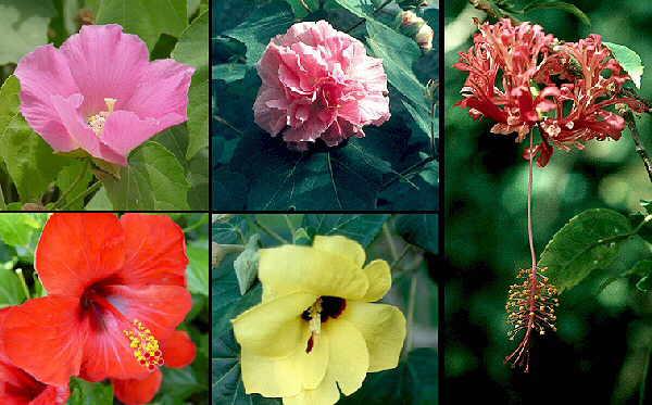 Las especies del genero hibiscus cultivadas en espa a for Hibiscus arbol