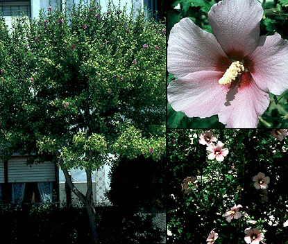 Hibiscus syriacus for Hibiscus arbol