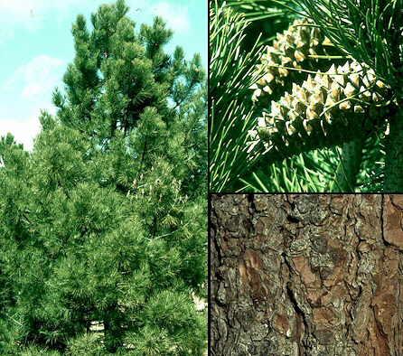 Pinus pinaster for Arbol comun