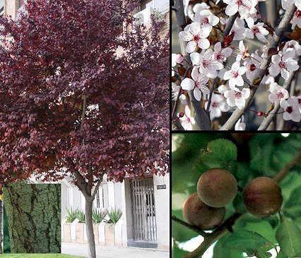 Prunus cerasifera for Arboles de jardin de hoja caduca