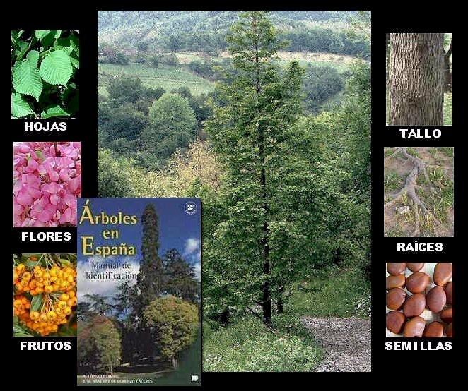 Arboles ornamentales el arbol - Arboles ornamentales para jardin ...