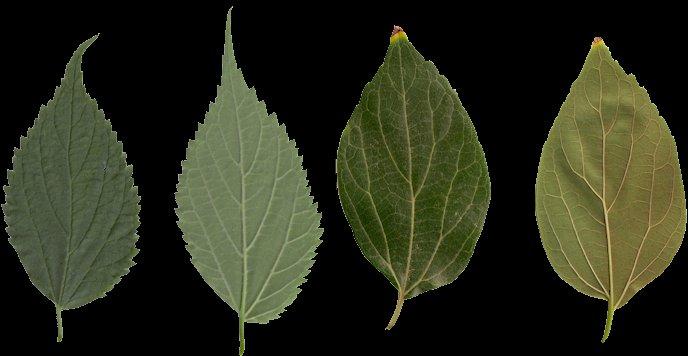 Nombre hojas de arboles gallery for Arboles de hoja perenne con sus nombres