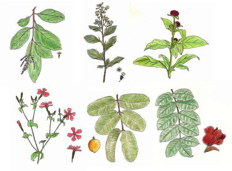 Dibujo de plantas medicinales imagui for Hojas ornamentales con sus nombres