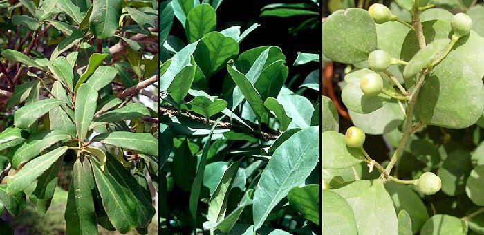 Las especies del genero ficus cultivadas en espa a - Variedades de ficus ...