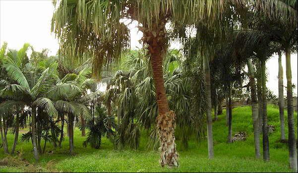 Las colecciones y los jardines del palmetum for Vivero el botanico