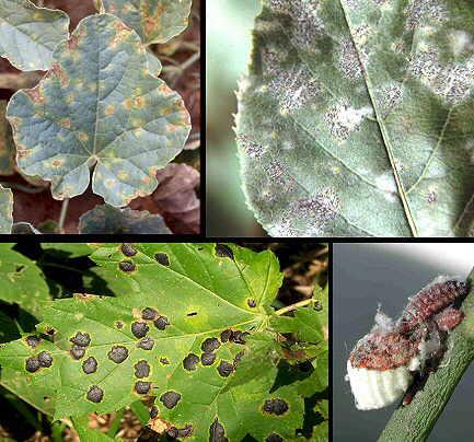 enfermedades de las plantas por bacterias: