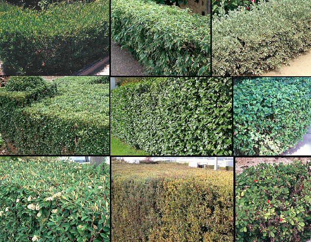 Los setos for Arbol perenne para jardin