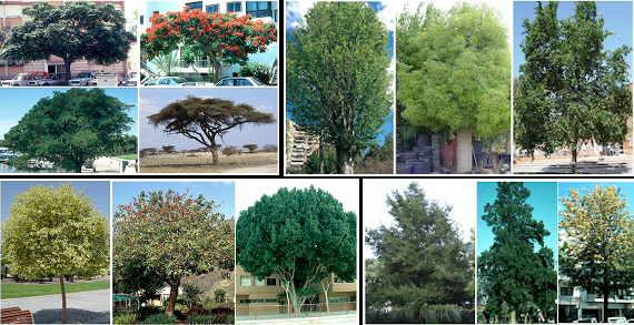 Plantas para xerojardiner a for Imagenes de arboles ornamentales