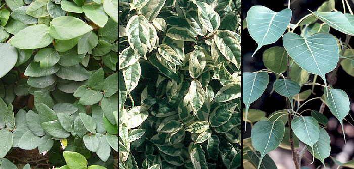 Resultado de imagen para Otras especies familia de Ficus Pumila