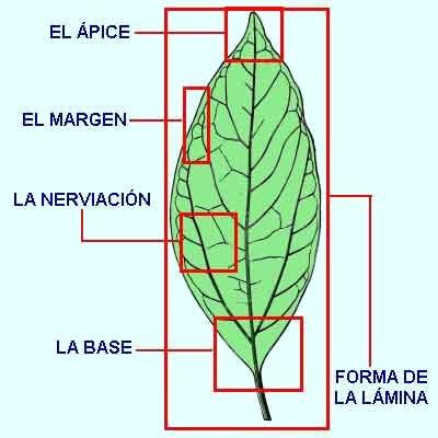 Las hojas de los arboles for Las caracteristicas de los arboles