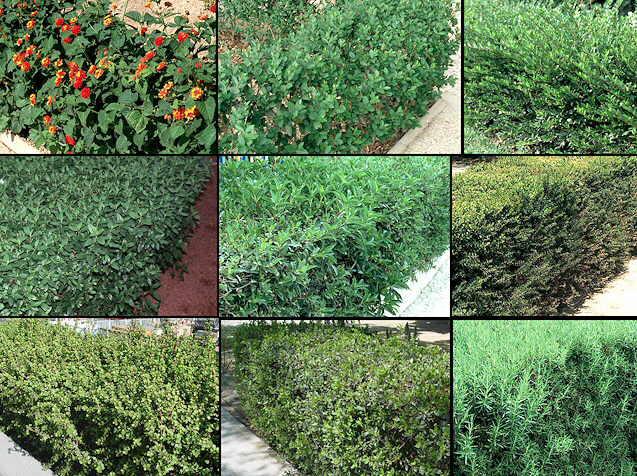 Los setos for Especies de arbustos